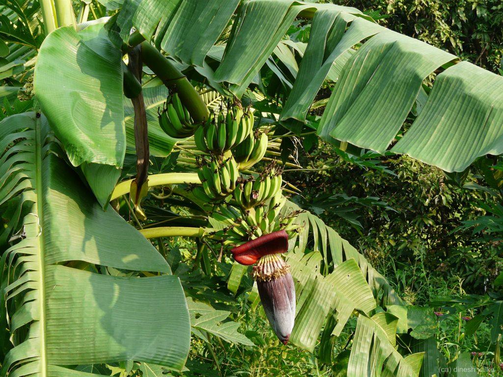 Bananier à plantain